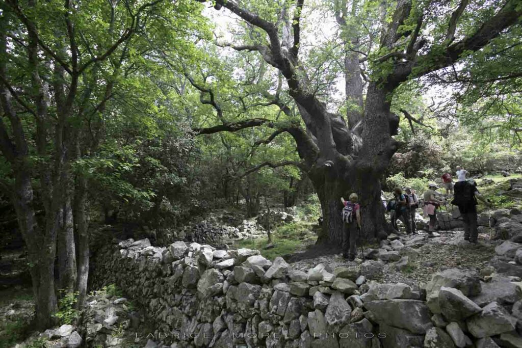Chêne millénaire, baou de la Gaude, randonnée avec rando06