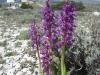 Orchidées près de l'observatoire de Calern