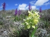 orchis sureau à Calern