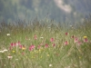 Orchidée Nigritelle de Cornelie