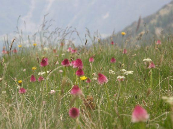 Nigritelle orchidées randonnée flore rando06
